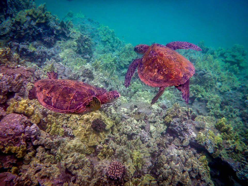 sea turtles by Athyna Rock